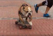 Logan el bulldog en patineta