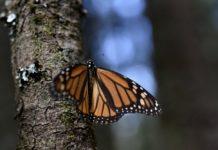 mariposas monarca en el nevado de toluca