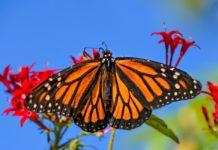 mariposas monarca en la cdmx