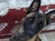 robo de una perra pastor belga