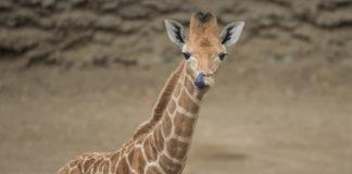 jirafa bebé de Chapultepec