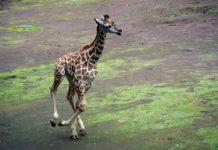 Ayuda a elegir el nombre de la jirafa bebé del Zoológico de Chapultepec