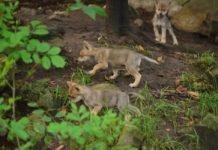 ¡Auuu! Nacen seis lobos mexicanos en Zoológico de Chapultepec