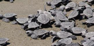 temporada de tortugas en México