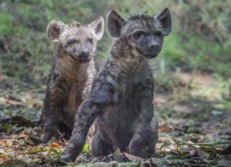 hienas en el zoológico de chapultepec
