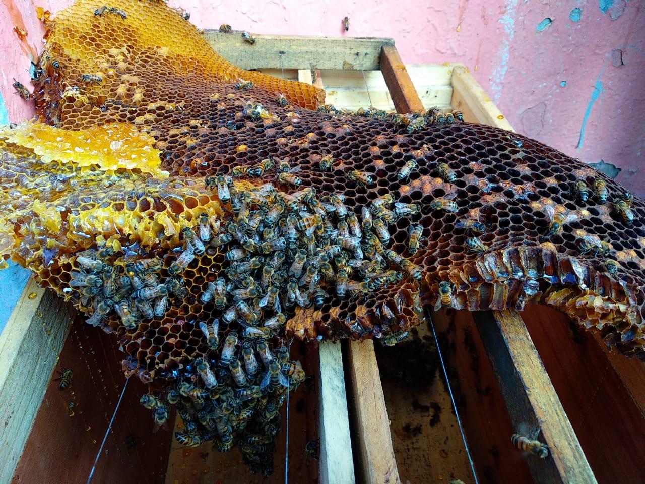 Las mieles ocultas en la CDMX: ¿cómo es el rescate de abejas?