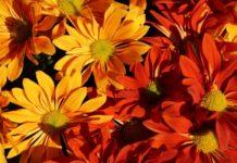 festival de las flores de otoño