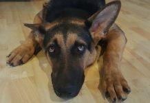 ¿Cómo tranquilizar a un perro asustado por cuetes?