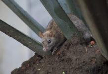 ratas en la cuauhtémoc