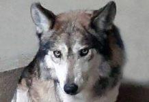 muere lobo mexicano en el Zoológico de San Juan de Aragón
