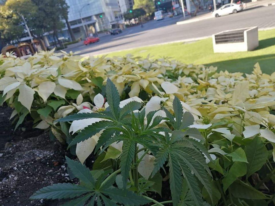 siembran-planta-de-mariguana-en-la-columna-del-angel-de-la-independencia