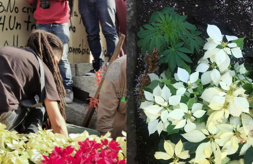 siembran-4-plantas-de-marihuana-en-el-angel-de-la-independencia