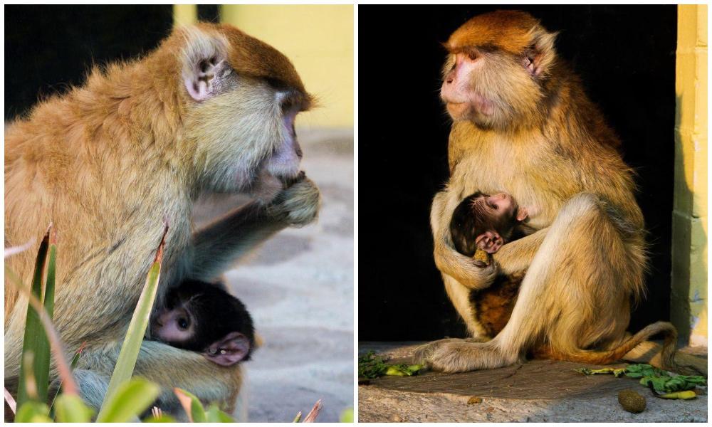 隆Qu茅 monito! Nace mono patas en zoo de Arag贸n (#fotos 馃槏)