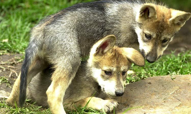 ¡Qué emoción! Nacen 2 lobos mexicanos en Zoológico de Aragón