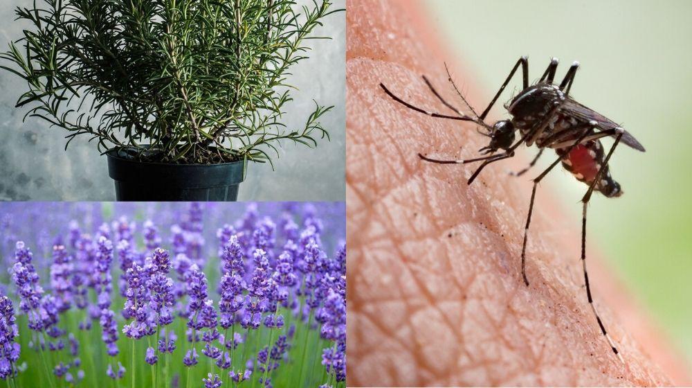¡7 plantas para repeler a los molestos mosquitos!