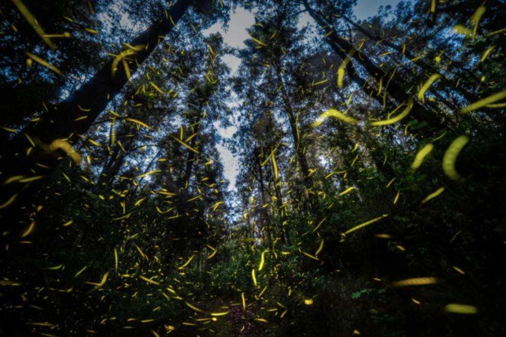 Este año no: santuarios de luciérnagas no abrirán esta temporada 💔✨