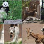 y-shuan-shuan-%f0%9f%90%bc-asi-afecta-covid-19-a-zoologicos-chilangos