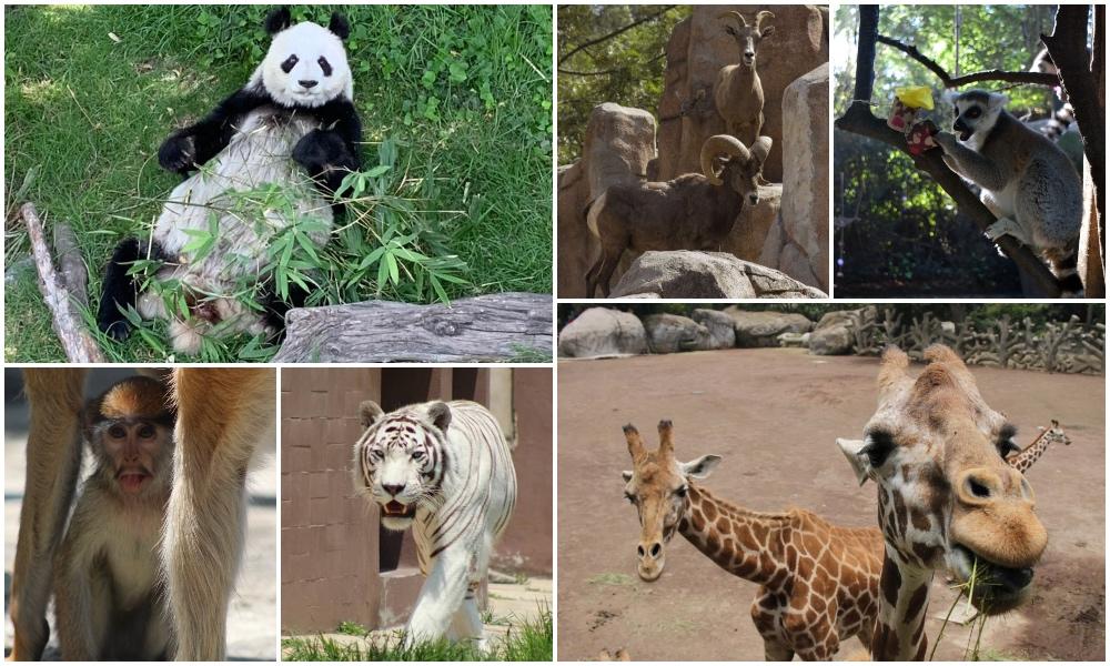¿Y Shuan Shuan 🐼? Así afecta covid-19 a zoológicos chilangos