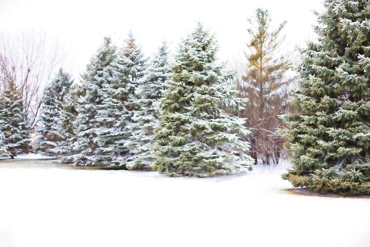 ¡Del bosque a tu casa! Así es la renta de árboles de Navidad