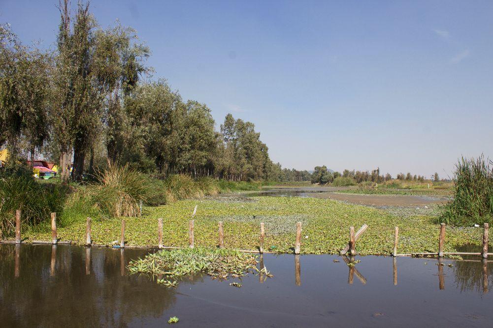 Lirio acuático en Xochimilco: de plaga a producto sostenible