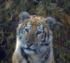adios-okoye-%f0%9f%90%af-muere-tigresa-del-zoologico-de-chapultepec