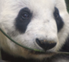 xin-xin-la-panda-de-chapultepec-cumplio-31-anos