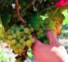descubre-la-esencia-del-vino-mexicano-en-sus-vendimias-vitivinicolas